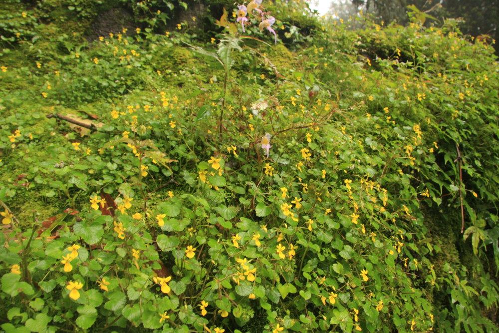 Viola biflora L, Impatiens sp.