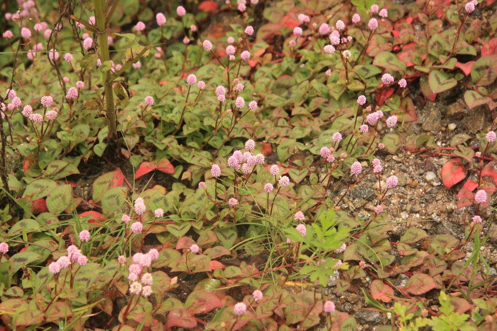 Persicaria sp.