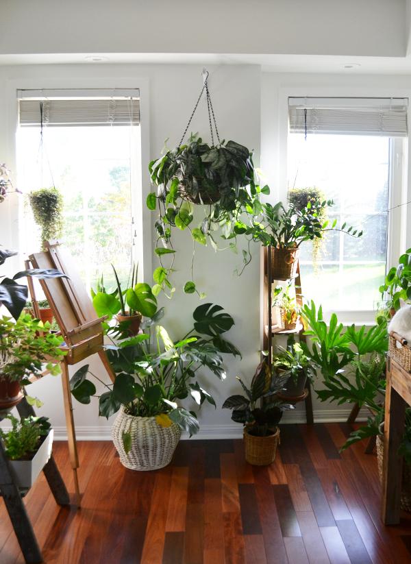 Similarly, Scindapsus pictus ' Exotica ' indoors, inbetween two south-facing windows.