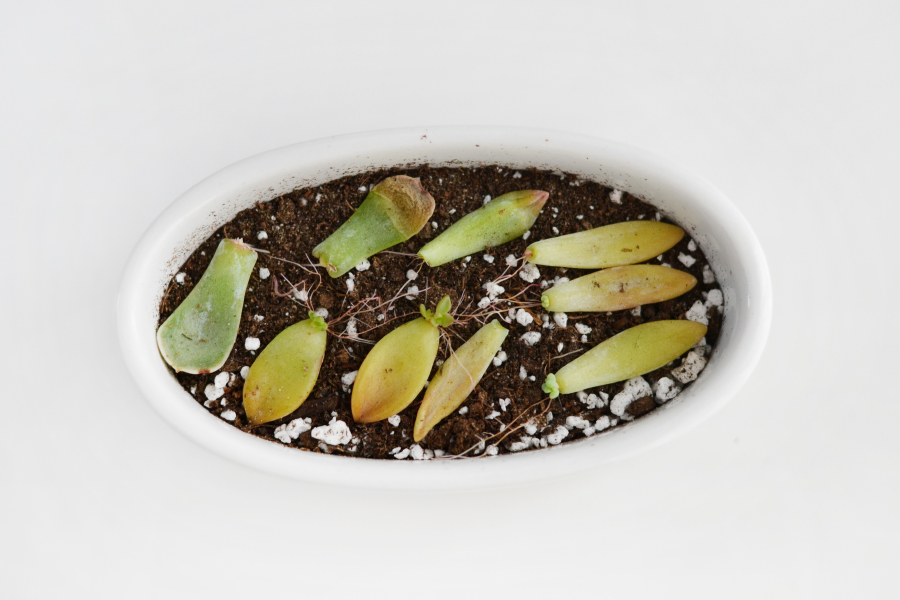 Various succulent leaf varieties starting to root