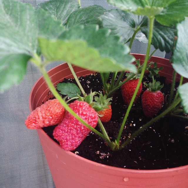 First strawberry plant: I wouldn't try again until years later