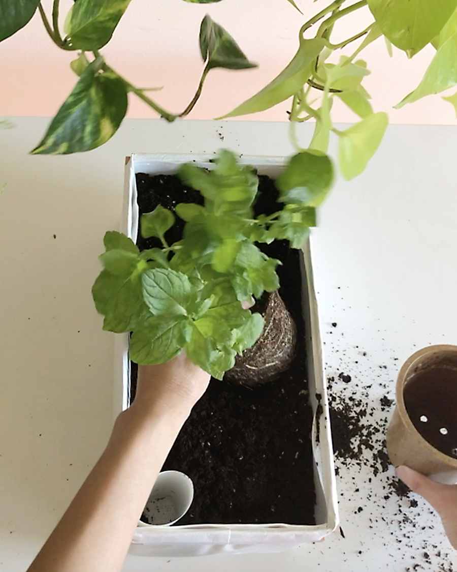 Planting time! Here we have mint