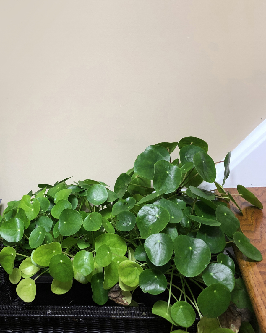 Pilea peperomioides with minimal shedding due to adequate light