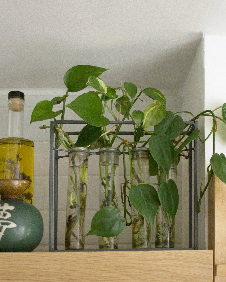 Discontinued glass vessel with pothos and philodendron cuttings