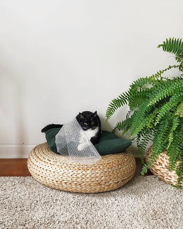 Does anyone else's Boston Fern shed as much as their cat? I don't know who makes a bigger mess, the fern or this little one 🤷🏻‍♀️. Maybe Nephrolepis exaltata leaves don't stick to black clothing as obnoxiously as Juniper's fur, but some days I feel like I have a third cat 🐱🐱🐱! ⠀ Did you know that Boston fern's reproduce without seeds? That's why you'll never spot a flower! Instead tiny spores run down the undersides of their leaves (which when you see for the first time, will freak you out). The easiest way I've found to propagate Boston ferns is by splitting it. Although you can't see in the photo, mine has two growth points and this spring, it'll be ready to split. ⠀ And for everyone asking from my stories, I was using a Dyson V8 handheld vacuum. We definitely needed the suction power!