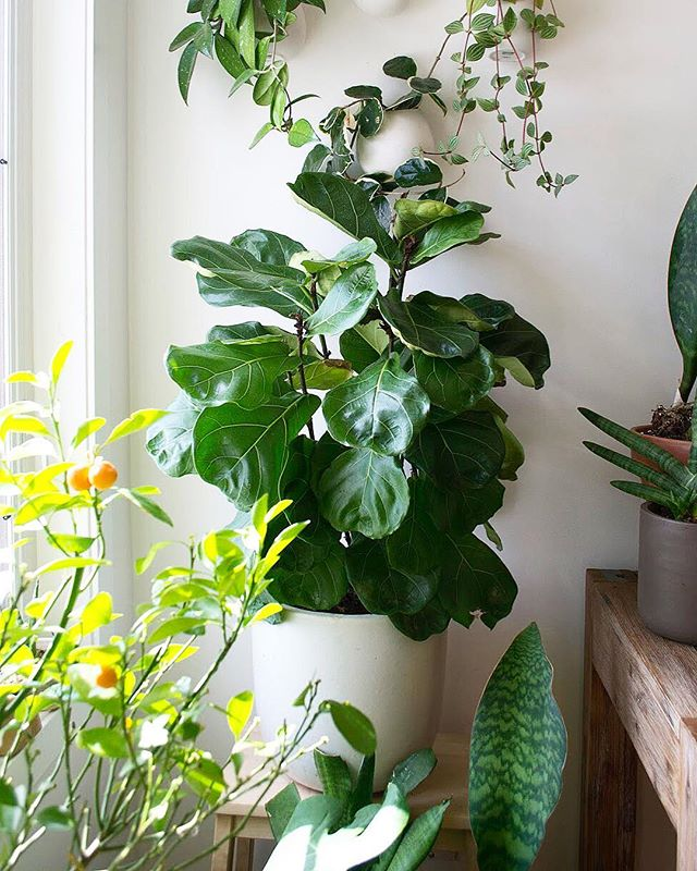 Rise and shine! Is your FLF surviving the winter? ☀️ Our Fiddle Leaf Figs (ficus lyrata) lost a lot of mass during the winter but is now starting to spring back to life. When growing season officially starts, I'll be pinching the tops to allow branching. Did you know that this pot is actually full of only single stalks - it's deceptively bushy because it houses multiple plants (each stem is an individual figgy!). Once new growth starts it'll be a good idea to divide them so they can grow on their own and not overcrowd or compete with each other ✂️🌱🌱