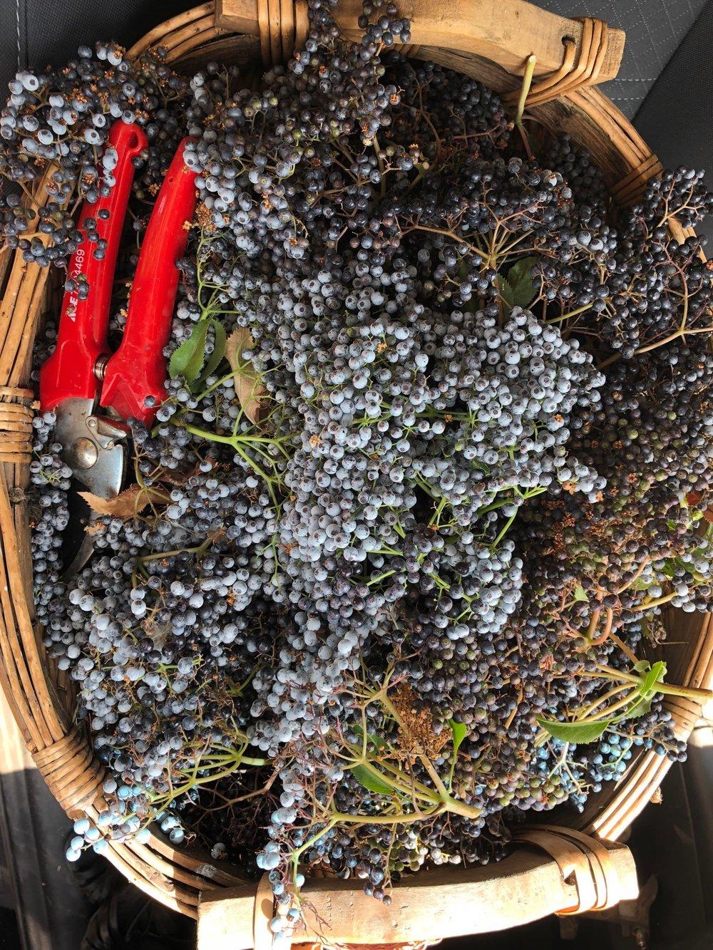 Sustainably foraged elderberries