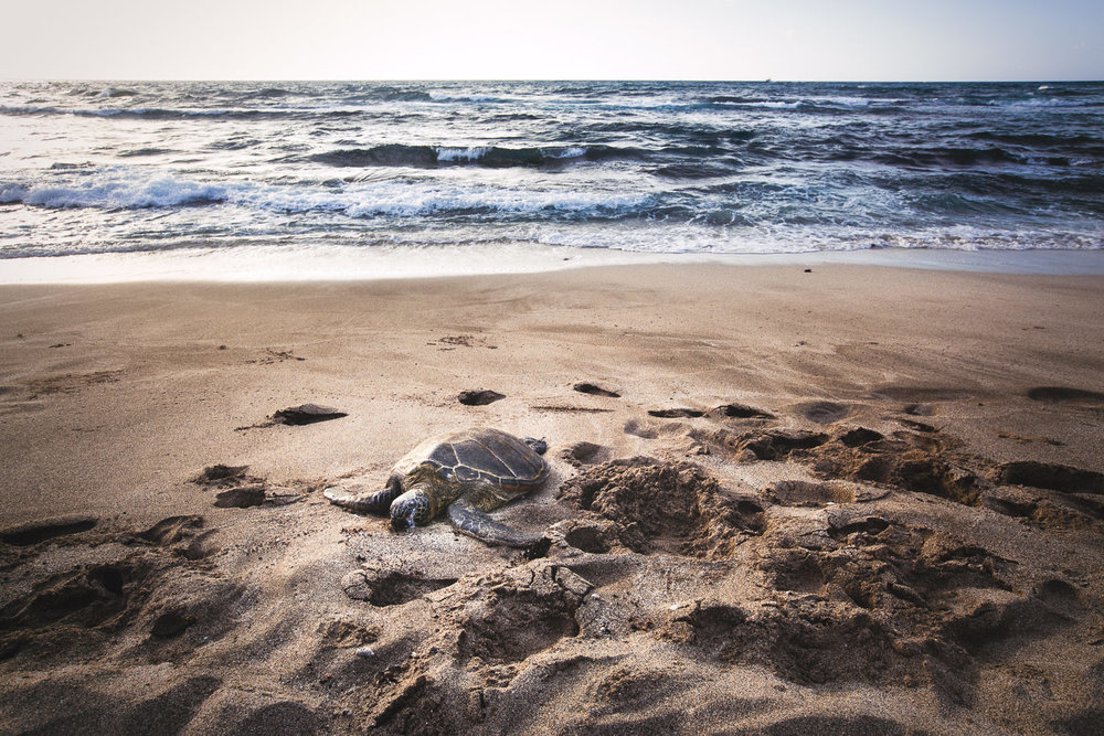 Turtle on the beach at Four Seasons Hualalai wedding