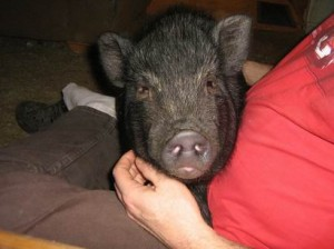 resize-of-true-lap-pig-300x224.jpg