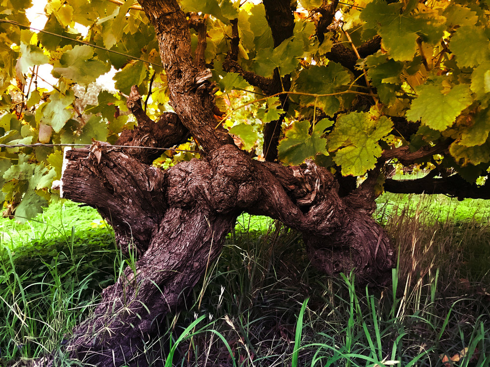 """""""McLaren Vale is the birthplace of the South Australian wine industry and home to some of the world's oldest grape vines."""" -"""