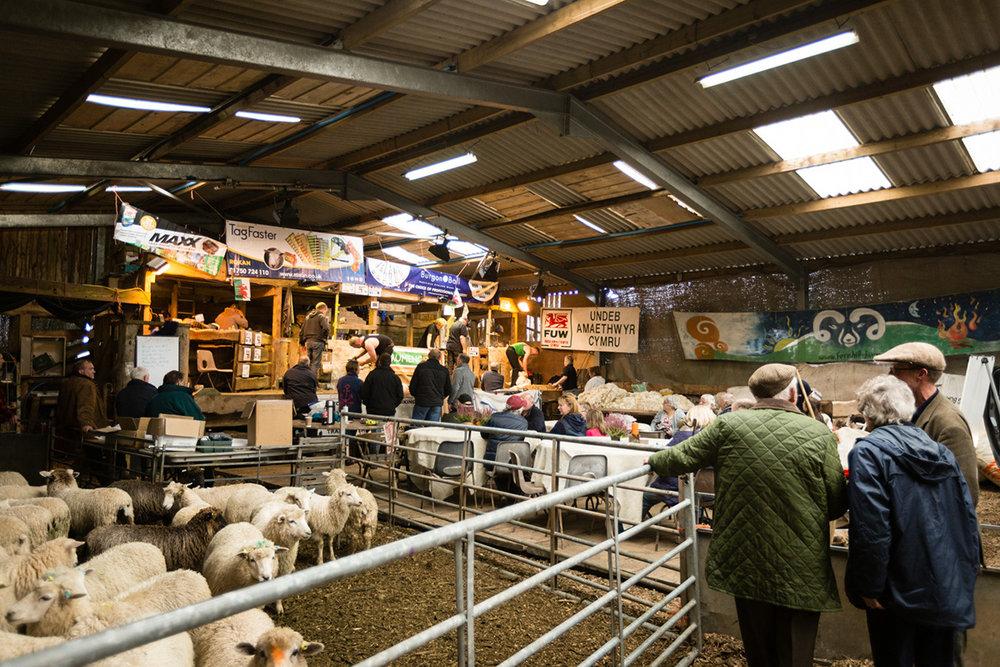 Fernhill Farm Blade Shearing.jpg