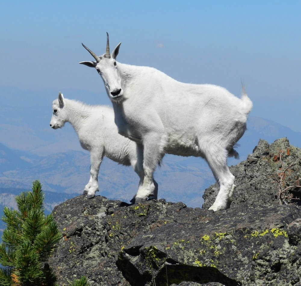 mountain-goats-at-the-top.jpg