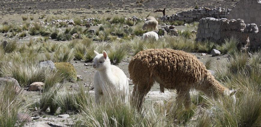 AlpacaBasics870x424.jpg