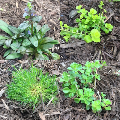 The groundcovers installed. Top row from left: Ajuga, Creeping Jenny. Bottom row from left, Irish Moss and a stonecrop sedum.