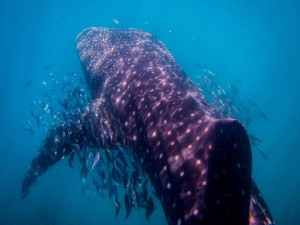 wellness travel, wellness cruise, adventure travel, whale sharks