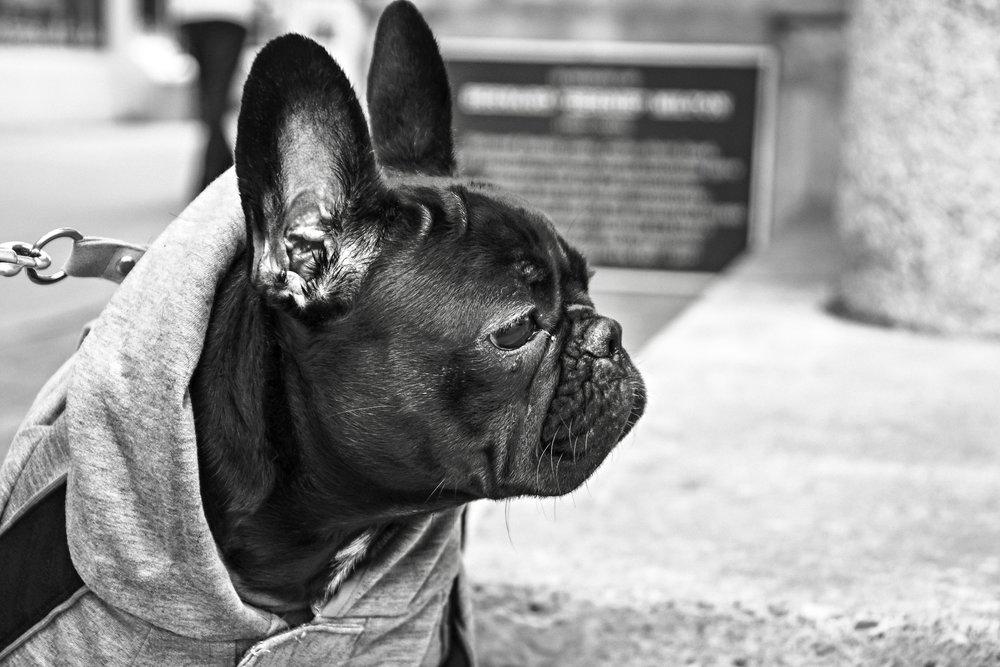 animal-black-and-white-bulldog-316.jpg