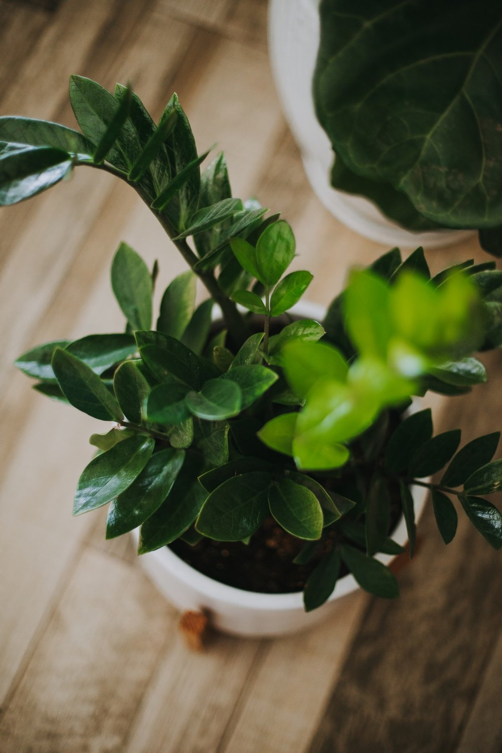 4. ZZ plant - This plant needs 2-3 cups of water weekly and the soil should be pretty moist at all times so make sure you check up on it! They also need direct sunlight.