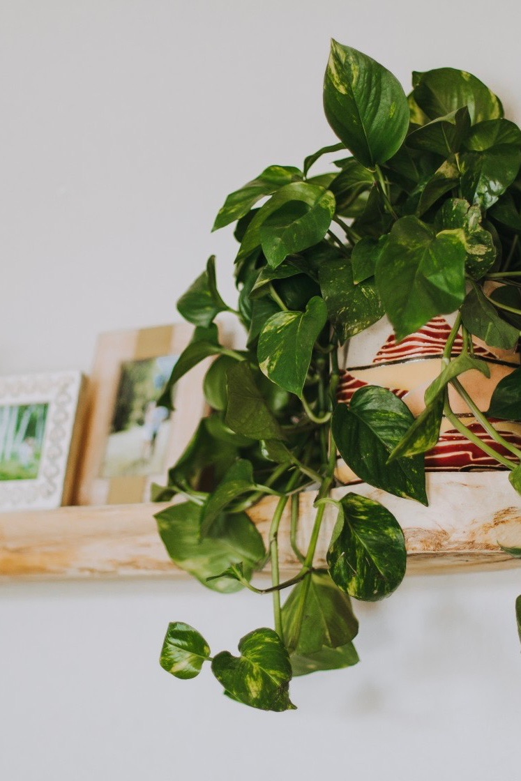 5. Pothos plant - This plant is fun because it hangs over the pot, so it is a nice change compared to plants that stick straight up! This plant thrives in lower light so it is great for rooms with fewer windows. This plant's soil needs to completely dry out between watering or the roots will rot.