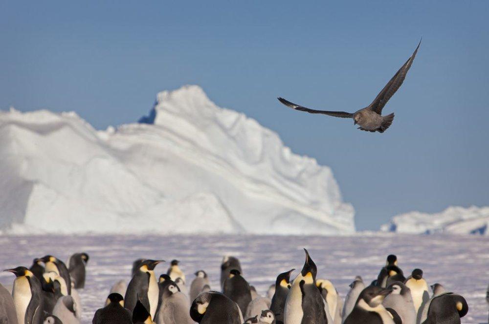 Antarctica is home to unique wildlife (Photo by Chris Wilson) image courtesy of Australian Antarctic Division.jpg