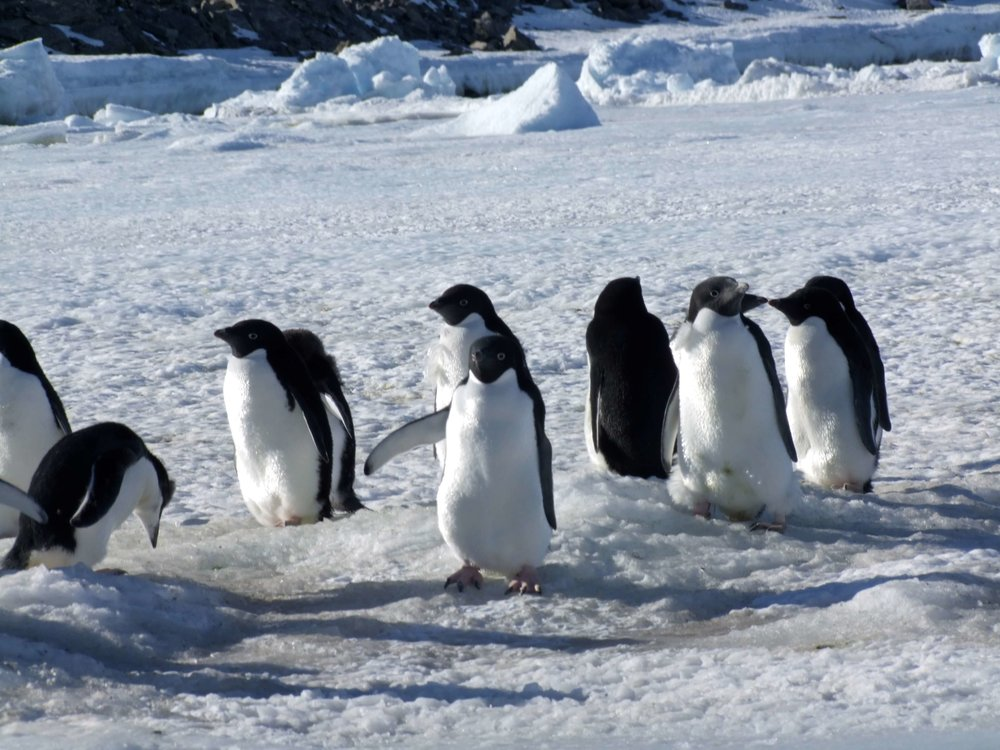 Support the penguins - Penguin Pursuits - a birds-eye view of environmental change
