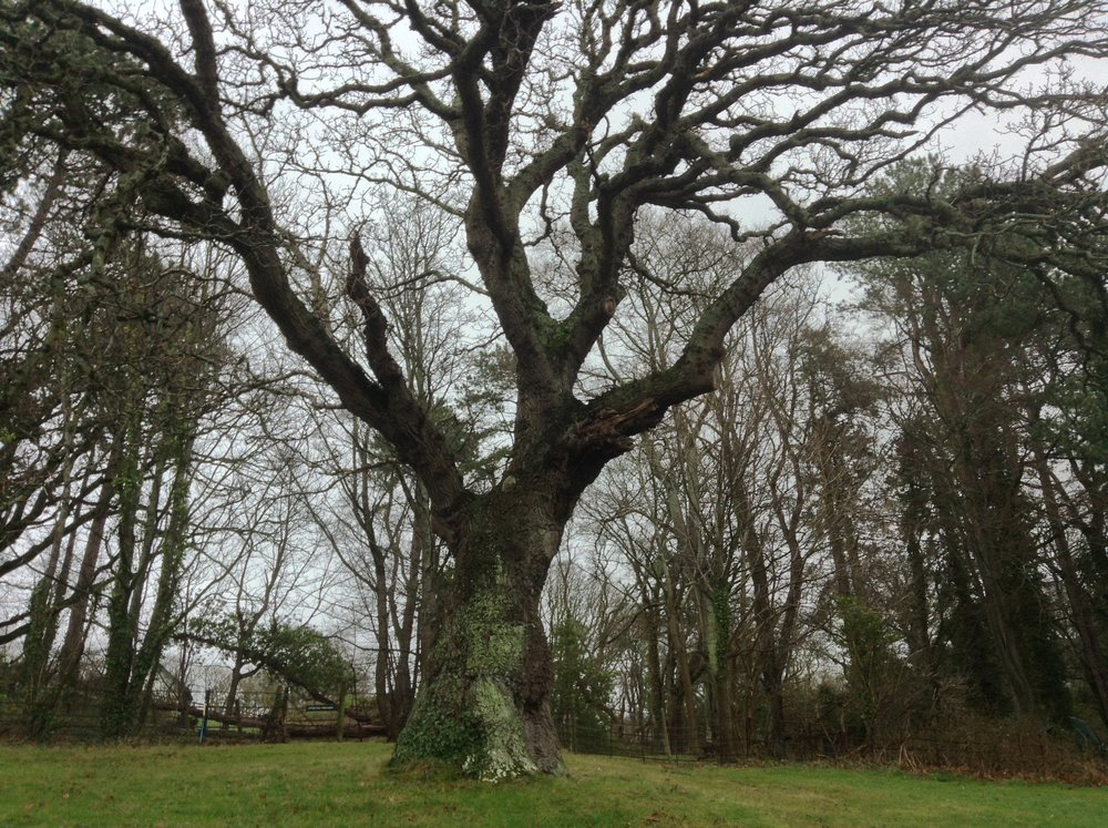 A veteran oak tree which we had the pleasure of inspecting on behalf of the National Trust Wales at Bodnant Gardens, in Conwy.