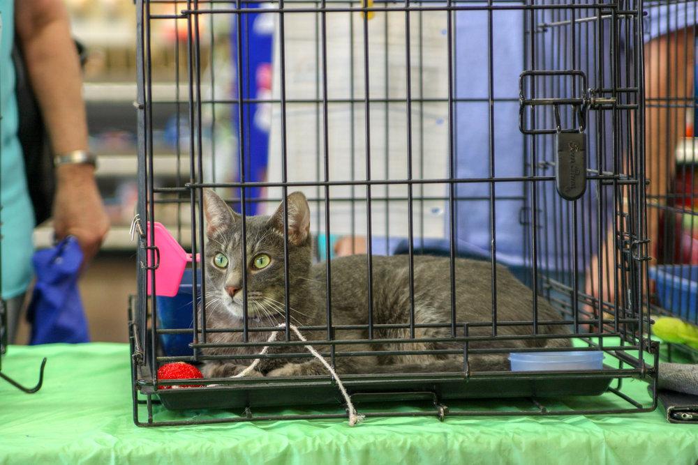 Prince-silvertabby-Catposse-adopt