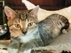 Bean-tabby-CatPosse-adopt