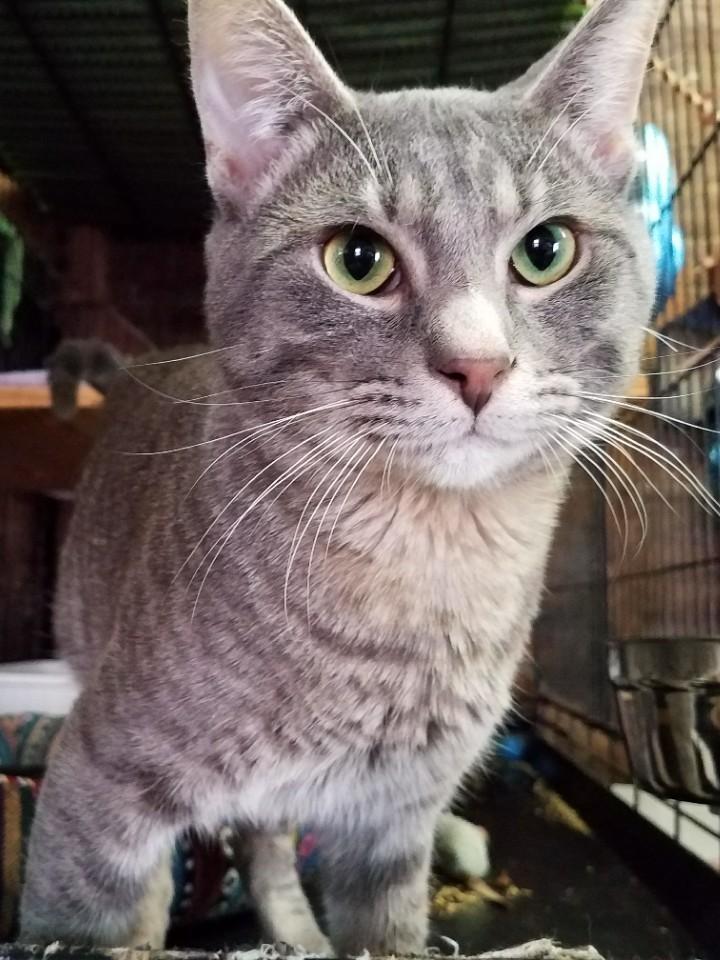 Prince-silvertabby-Catposse-closeup1
