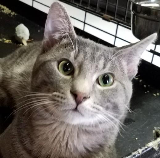 Prince-silvertabby-Catposse-closeup3