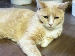 Brittany-cream-senior-CatPosse-adopt