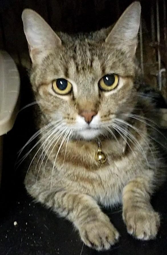 Claude-tabby-dsh-CatPosse-adopt