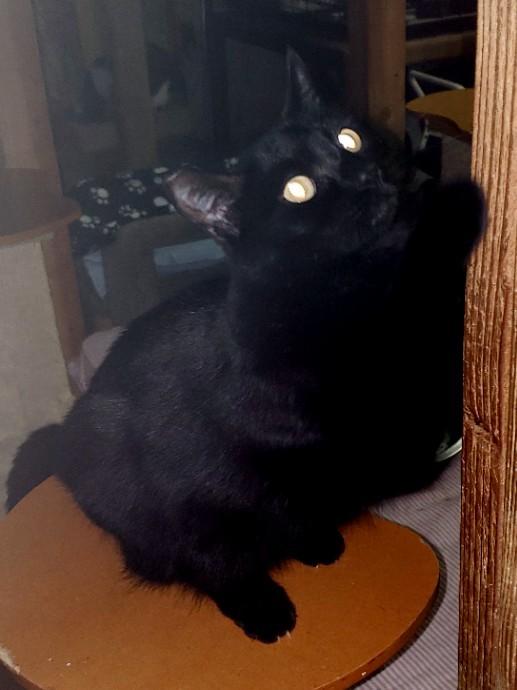 HeHe-BlackBeauty-CatPosse-Adopt