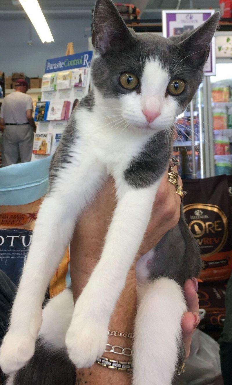 julia-catposse-kitten-greyandwhite-adopt