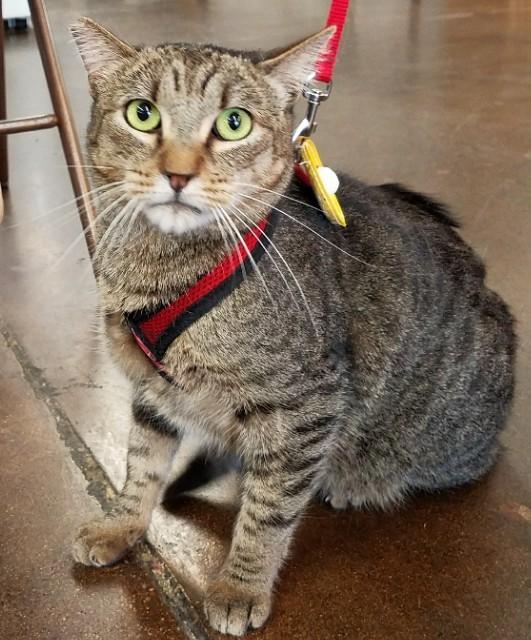 Vonnie-tabby-dsh-CatPosse-adopt