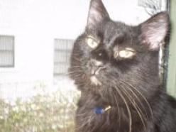 Zulu-DMH-Black-senior-CatPosse-adopt