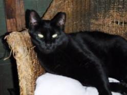 Belle-Black-dsh-senior-specialneeds-CatPosse-adopt