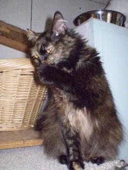 Celia-Tortoiseshell-dlh-senior-CatPosse-adopt
