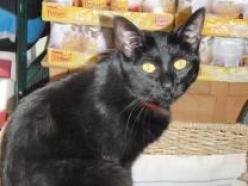 Cosett-dsh-black-senior-CatPosse-adopt