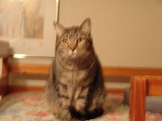 Egypt-tabby-dsh-senior-CatPosse-adopt