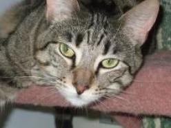 Hersis-tabby-dsh-senior-CatPosse-adopt