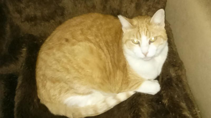 Vera-Orange-tabby-senior-CatPosse-detail1