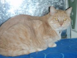 Florence-oranbe-tabby-senior-CatPosse-adopt