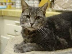 Stacy-tabby-sibling-senior-CatPosse-adopt