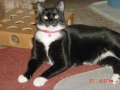 Sasha-Tuxedo-dsh-senior-CatPosse-adopt