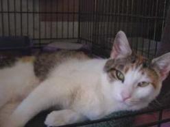 Calypso-Calico-senior-CatPosse-specialneeds-adopt