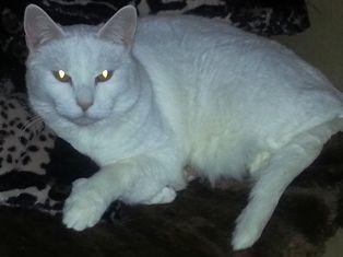 Beemer-white-dsh-senior-CatPosse-adopt