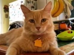 Ginger-Orange-Tabby-CatPosse-adopt