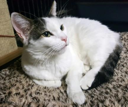 Puddy-bw-patches-CatPosse-adopt