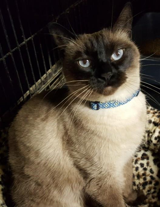 Nellie-siamese-sealpoint-CatPosse-adopt