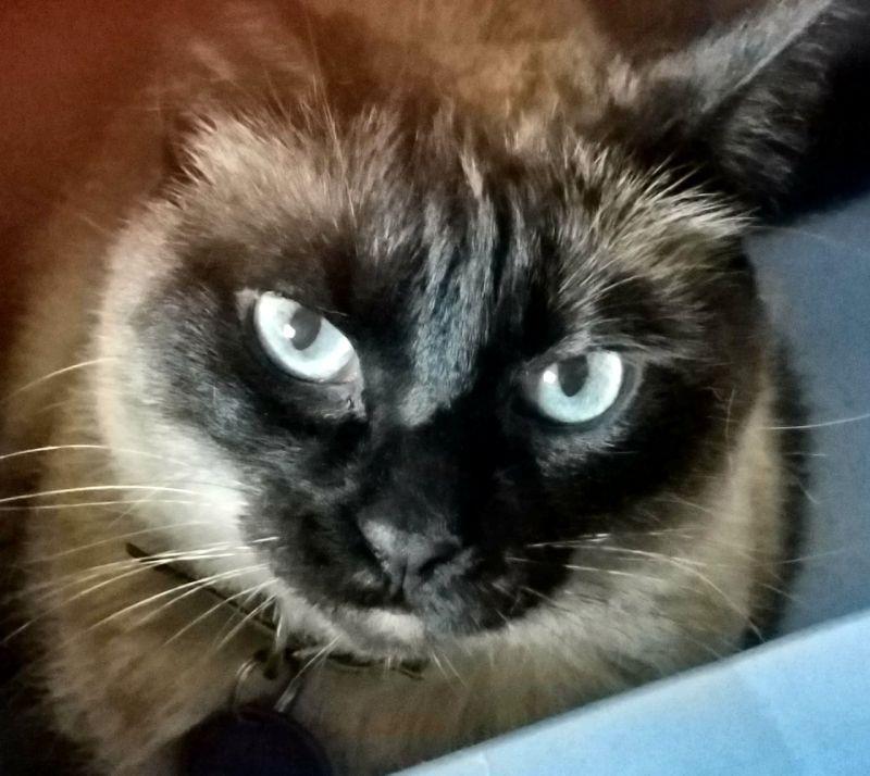 Nellie-Siamese-CatPosse-detail1